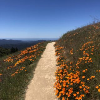 Ok, the wildflowers are just showing off at this point. Gorgeous display of California poppies, lupines, and more along the San Mateo County ridgeline.😍  Photos: @tracychezmc   #bayarearidgetrail #wildflowers #trails #outdoors #nature #hiking #biking #equestrian #bayarea