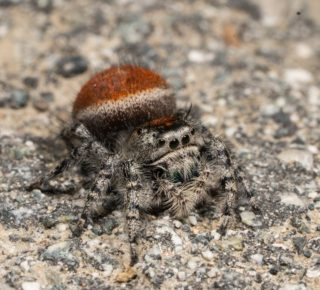 Happy Halloween from the Ridge Trail! This jumping spider (likely Phidippus adumbratus) was found on the Penitencia Creek Ridge Trail by Merav at @bioblitz.club. We hope you have a fun and safe Halloween filled with cool critters and wonderful trails! 🕷️🕸️🌲 #bayarearidgetrail #halloween #spiders #critters #nature #trails #outdoors